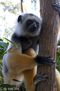 more sifaka. couldn't stop