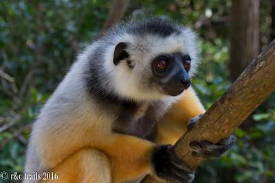 sifaka lemur @ vakona park