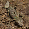 a leaf-tailed gecko