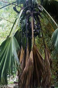 the coco de mer tree - the seychelles' mascot