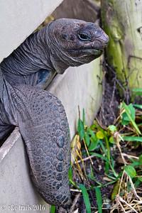 giant tortoise saying hi.