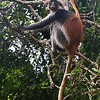 red colobus climbers