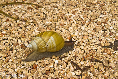 a snail out for a stroll