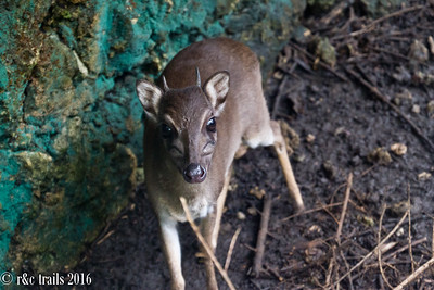 a dik dik (small deer) at zala park, a small reserve to educate locals about endemic species