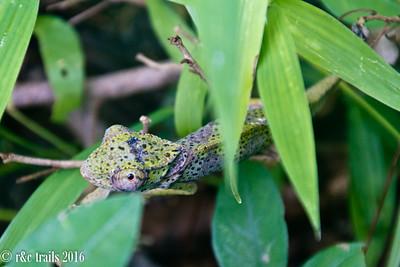 sneaky chameleon