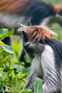 a red colobus monkey showing his colorful hair