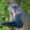 black monkey at jozani forest