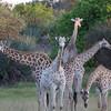 Giraffe art, Tubu Tree - 19
