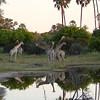 Giraffe art, Tubu Tree - 21