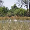 Red lechwe running in water, Savuti - 03