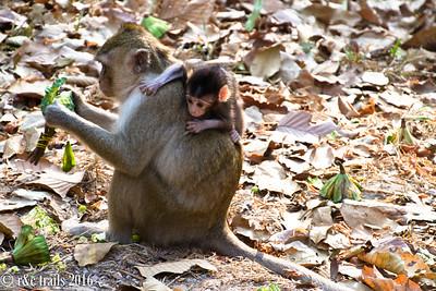 monkey-back ride at angkor