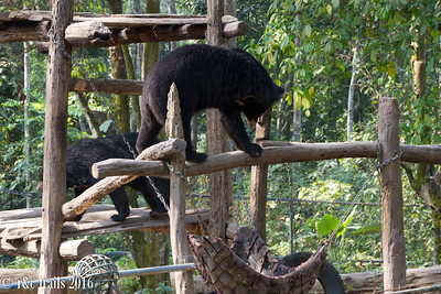 sun bears fighting over the hammock