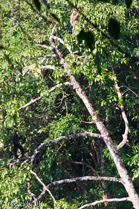 female gibbons are tan in color - at top center. male at bottom left.