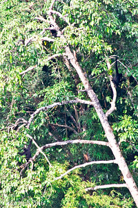 3 gibbons (top center, then two on opposite sides of the tree)