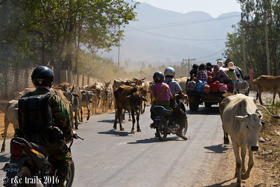 in burma, traffic jams can often be caused by cattle