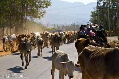biking through cows is a first