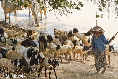 more livestock herding