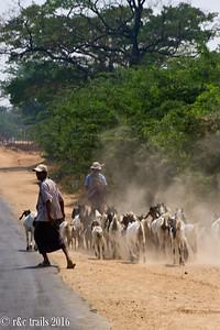 goat herding near the temples