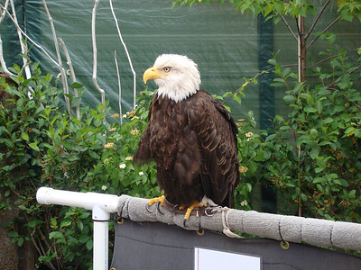You will see the Bald Eagle everywhere on an Alaskan cruise.