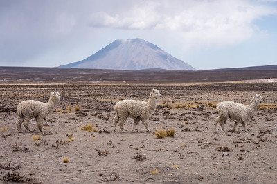 Misti + alpaca