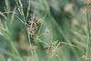 Grass, Chitabe