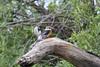 Woodland Kingfisher, Chitabe