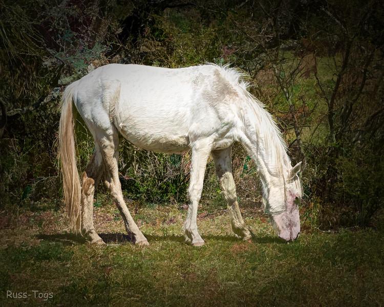 Wild Horse at Cumberland Island, GA