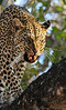 Defensive Leopard mother