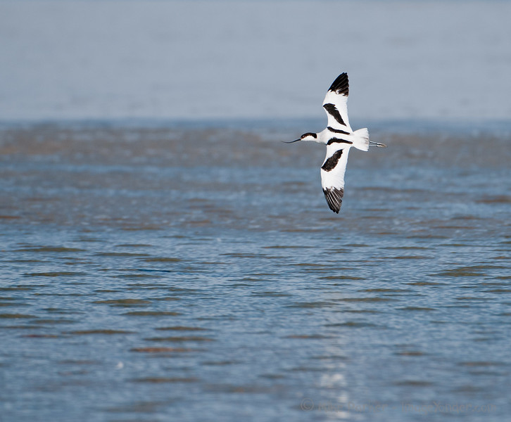 Avocet at Nata, Botswana