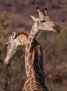 Giraffe tangle