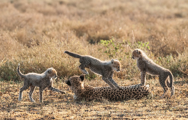Cheetah cubs playing with Mum