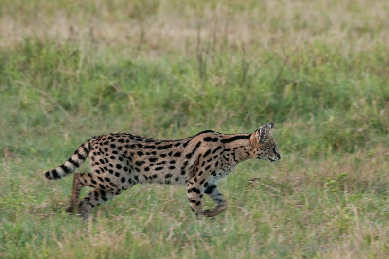Serval still hunting at 7am