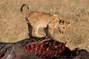 Lion cub on buffalo remains
