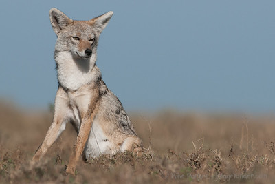 Mouse level view of a Golden Jackal