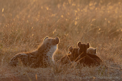 Hyena family watching the sunrise