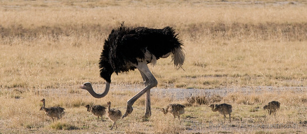 Ostrich & young - Etosha National Park, Namibia