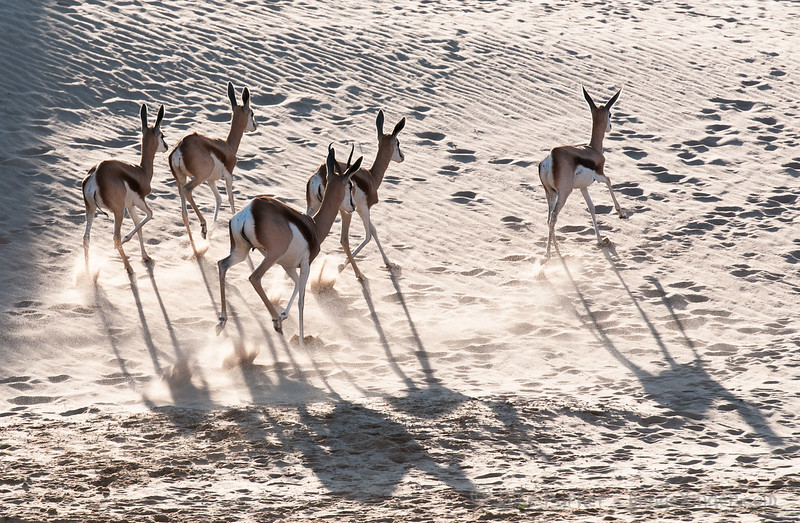 Springbok shadows