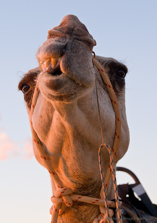 Cable Beach Camel, Broome, Western Australia
