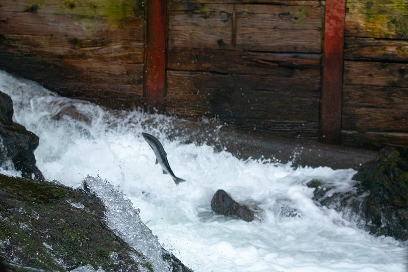 Silver Salmon Survival