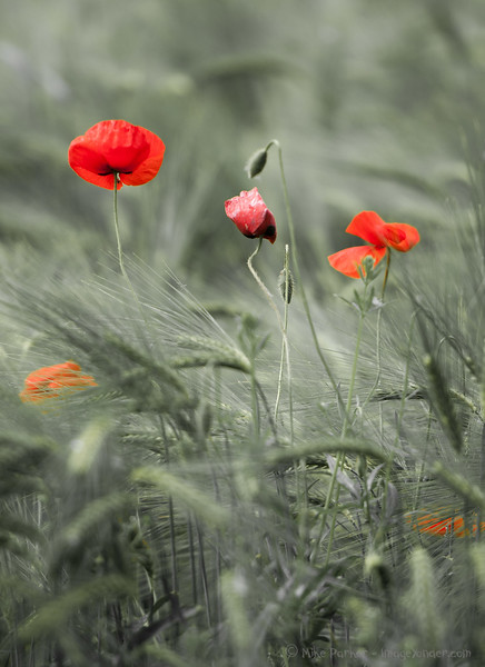 Poppies in the chaff