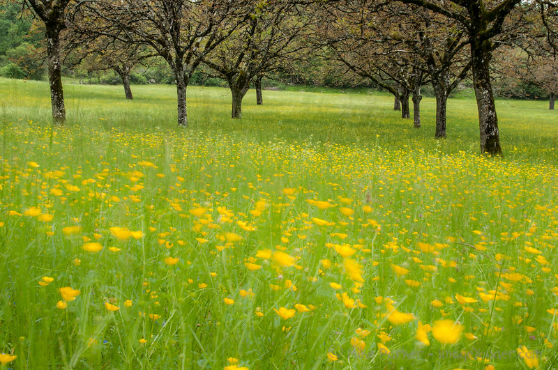 Walnuts and buttercups
