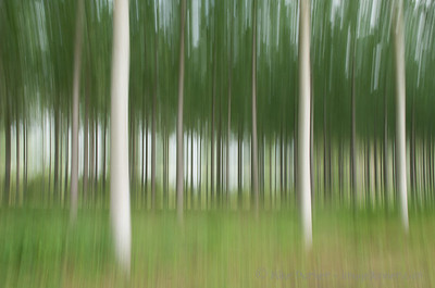 Dizzying birches