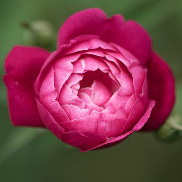 Oak Alley Rose