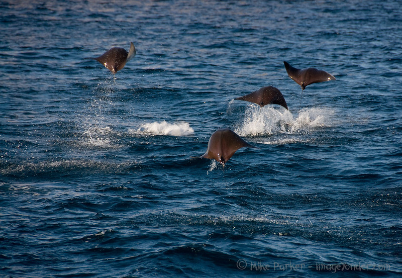 Jumping Mobula Rays - Sea of Cortez, Mexico