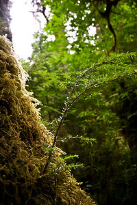 Tree growing off the side of another in the moss.