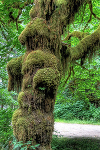 Mossy Tree - Hall of Mosses Trail, Hoh Rainforest