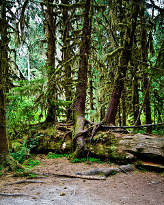 Nurse log growing new trees.