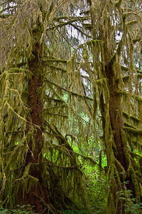 Mossy Tree Branches... Hall of Mosses Trail, Hoh Rainforest