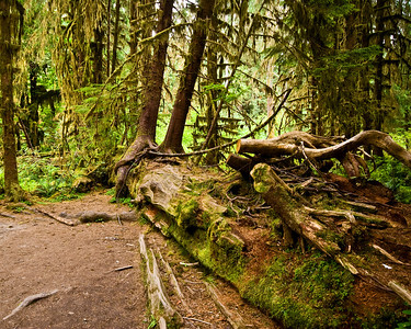 Nurse log with new trees growing off of it.