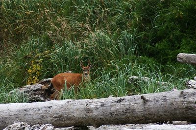 Young Buck on Sand Point. He lives with his doe and fawn under a big pine next to the old Ranger Station.